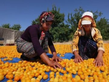 Apricot drying